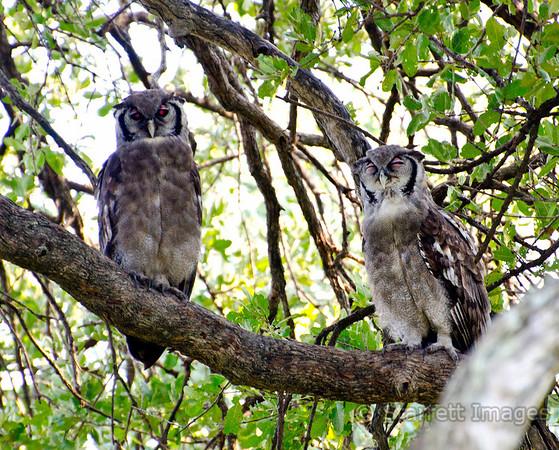 Giant Eagle Owls