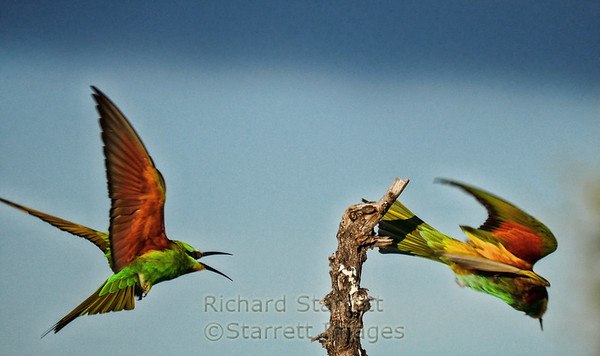 European bee-eater dislodged by a Blue-cheeked bee-eater