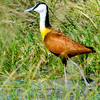 African Jacana.  Very long toes allow walking on floating vegetation.  Insect feeder.