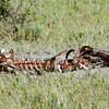 All that was left of the cow after twelve hours of the vultures feeding.  Now Hyenas and jackals take over