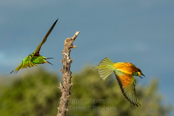 European bee-eater on right, blue-cheeked bee-eater on left