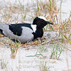 Blacksmith plover on her nest, three spotted eggs visible.