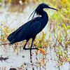 Black egret (heron), yellow toes, legs black otherwise.  In the shadow of their wings, apparently the legs disappear leaving the wiggling toes to look like something a small fish might eat.