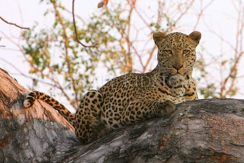 African Leopard (Panthera pardus pardus)<br /> <br /> You may purchase a print or a digital download. If purchasing a digital download please look at the licensing agreement terms for personal or commercial use.
