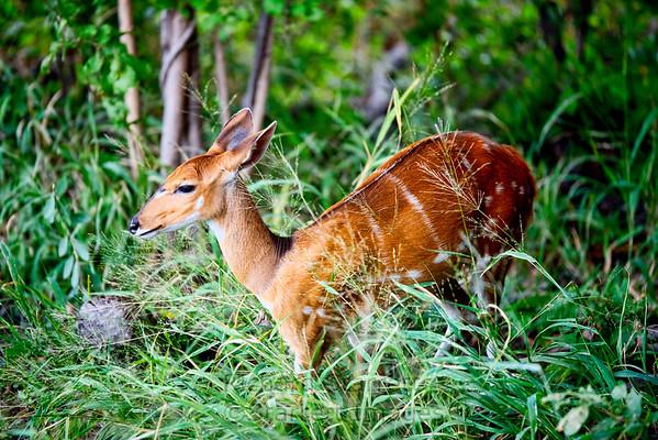 Chevrotain - Mouse Deer