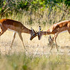 Young male impalas jousting