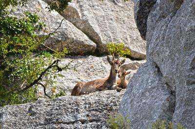 Spain ..... Southeastern Spanish Ibex (female) with Kid