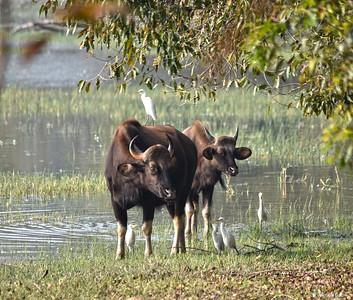 India ..... Gaur (Indian Bison) ..... Vulnerable Species