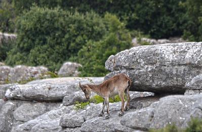 Spain ..... Southeastern Spanish Ibex