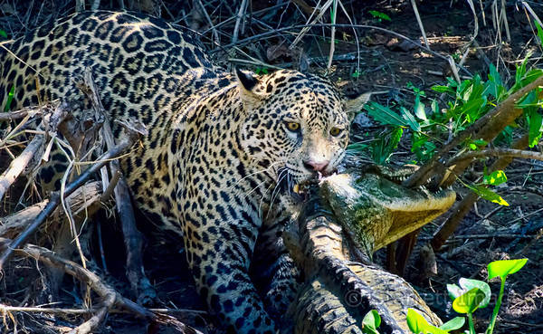 Jaguar with large caiman she's caught