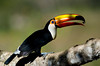 Toco Toucan, eating fruit