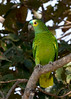 Blue-crowed Parakeet