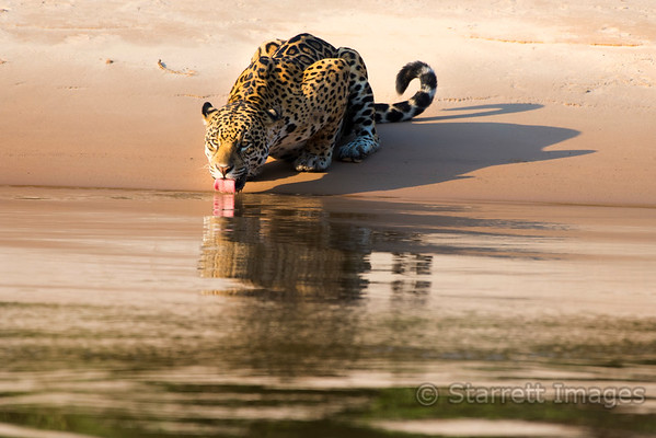 Jaguar Drinking