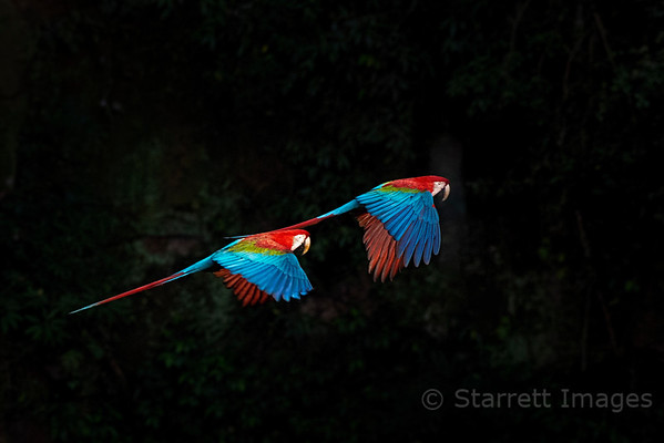 Red an Green Macaws in Flight