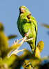 Yellow Chevron Parakeet eating fruit