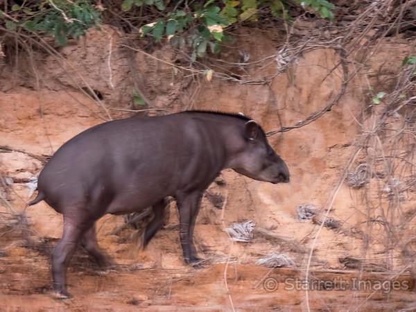 South America n Tapir