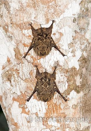 Proboscis Bats