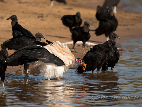 King Vulture with Black Vultures