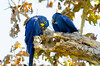 Hyacinth macaws, the largest of the parrot family