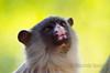 Marmoset, mico melanurus