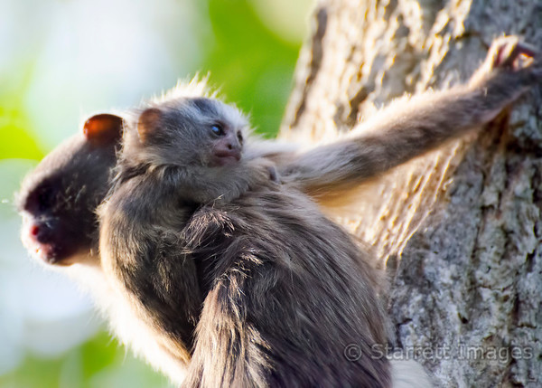 Marmoset baby carried by Dad, Mico melanurus