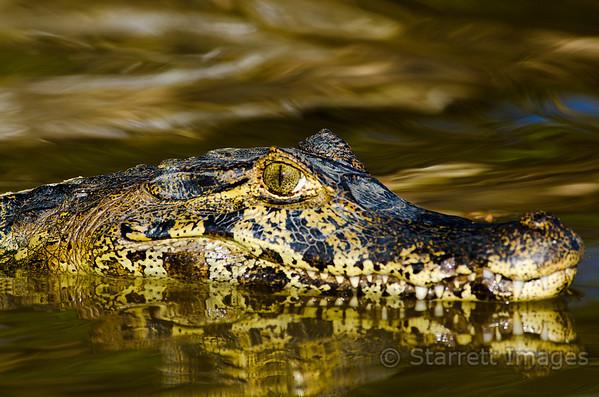 Young caiman