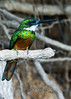Jacamar, similar to a hummingbird, but it's not