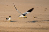 Large Billed Terns