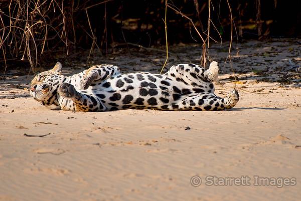 Jaguar pussy cat