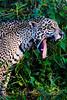 Jaguar's prodigious yawn