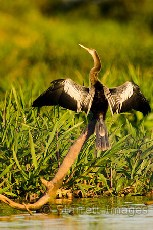 Anhinga, the snake bird, because of the way they look swimming in the water