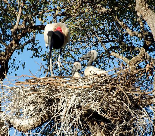 Jabiru Stork nest