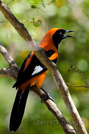 Orange-backed Toupial