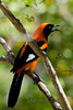 Orange-backed Toupial