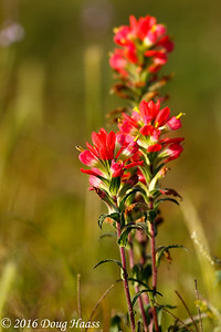 Indian Paintbrush Castilleja