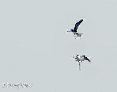 White-tailed Kites - falling apart after a fight