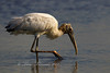 Wood Stork from Brazoria NWR, TX