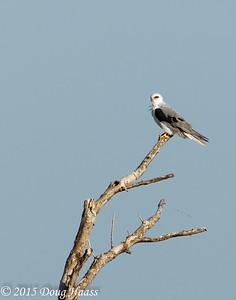 White-tailed Kite Elanus leucurus