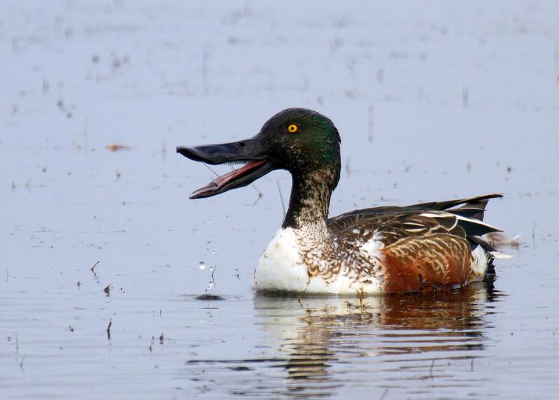 If it talks like a duck....