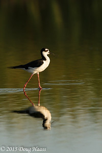 Black-necked Stilt Himantopus mexicanus on Olney Pond.