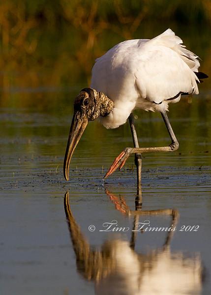 Wood Stork from Brazoria NWR, TX