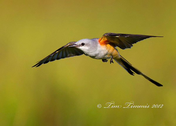 Scissor-tailed flycatcher from Brazoria NWR.  Taken wiht Canon 7D and Canon 500mm F4 IS II lens with 1.4X III teleconverter