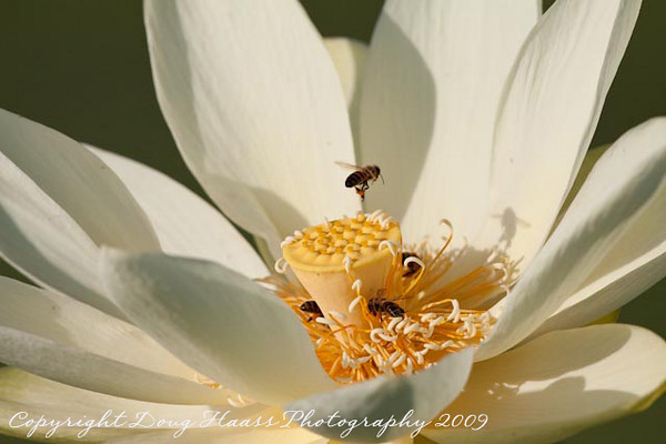 Bees on Lotus Flower at 40 Acre Lake