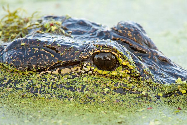 American Alligator and Reflection in Eye