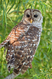 Barred Owl at 40 Acre Lake