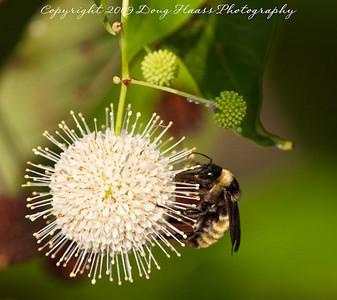 Bumblebee on Button Bush on Elm Lake trail.