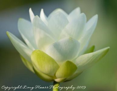 Lotus Flower at 40 Acre Lake