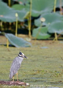 Yellow Crowned Night Heron at 40 Acre Lake