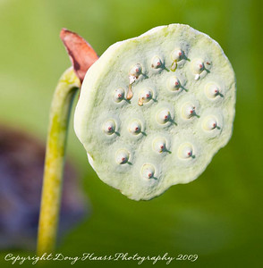 Lotus Seed Pod (Fruit)