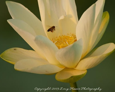 Lotus Flower with Honey Bee - Honey Bee's legs were loaded with pollen.